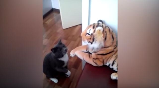 Gatto Pugile Arrabbiato Contro Peluche Di Tigre Video Caffeina