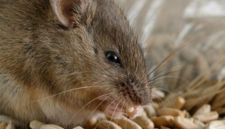 Scoperto primo caso di malattia dei topi su uomo. Cosa si rischia con Epatite  E ef84c9a55f