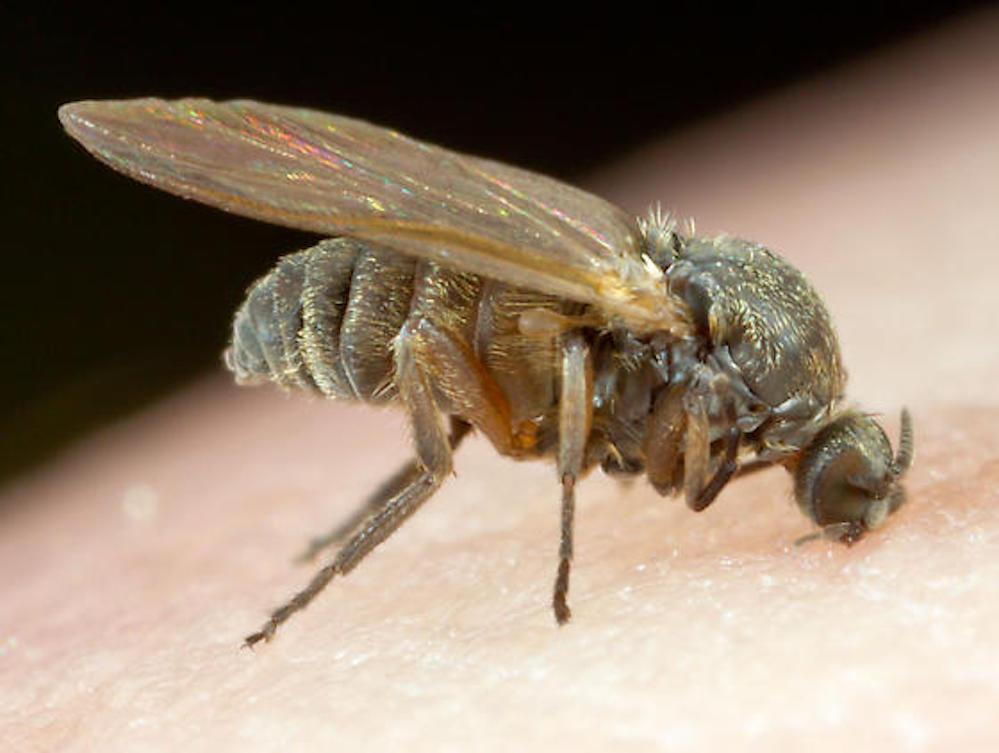 """Allerta per l'invasione della """"mosca nera"""". Si è diffusa dur"""