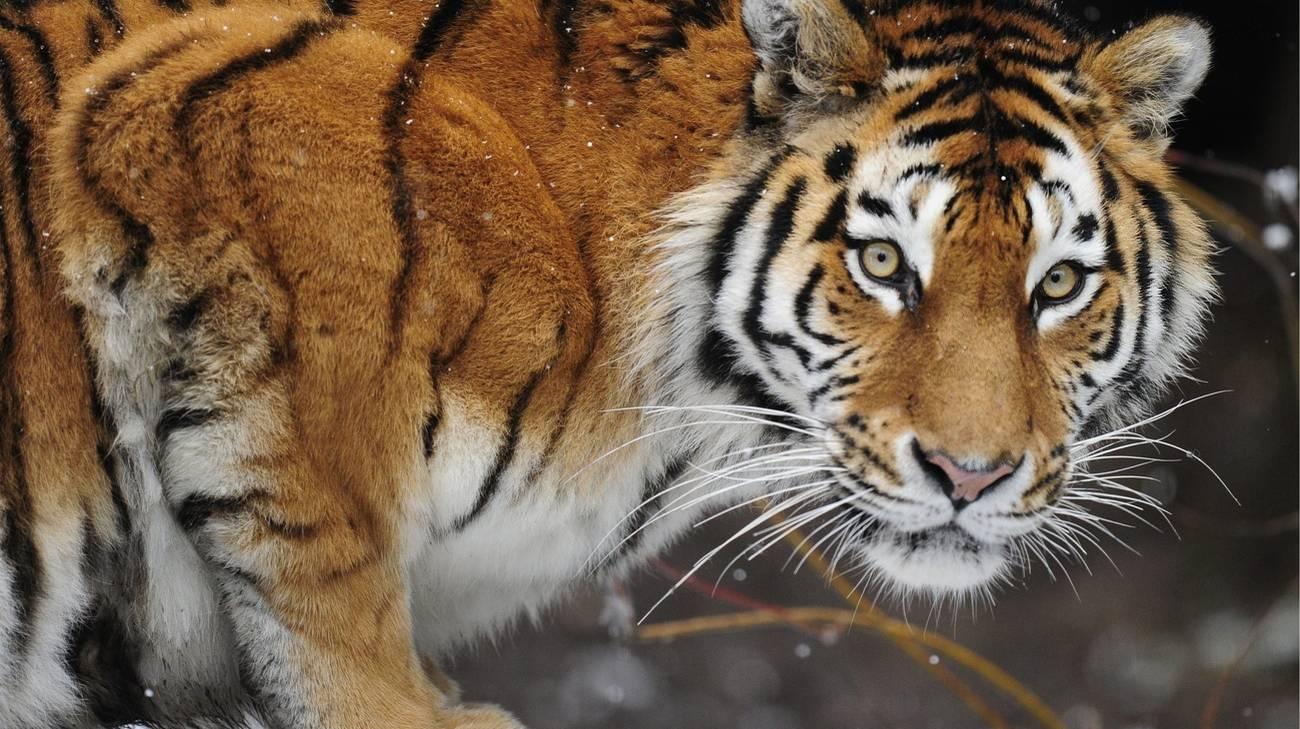 """""""È stata attaccata!"""". Paura allo zoo, tigre siberiana uccide"""