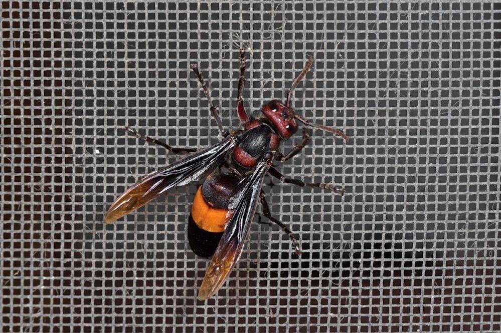 Aiuta la nonna in giardino, bimbo di 6 anni ucciso da un centinaio di punture di vespa