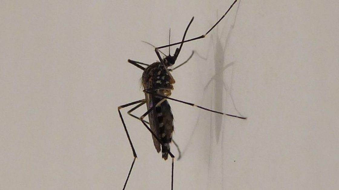 Zanzara Coreana Arrivo Italia Resistente Freddo