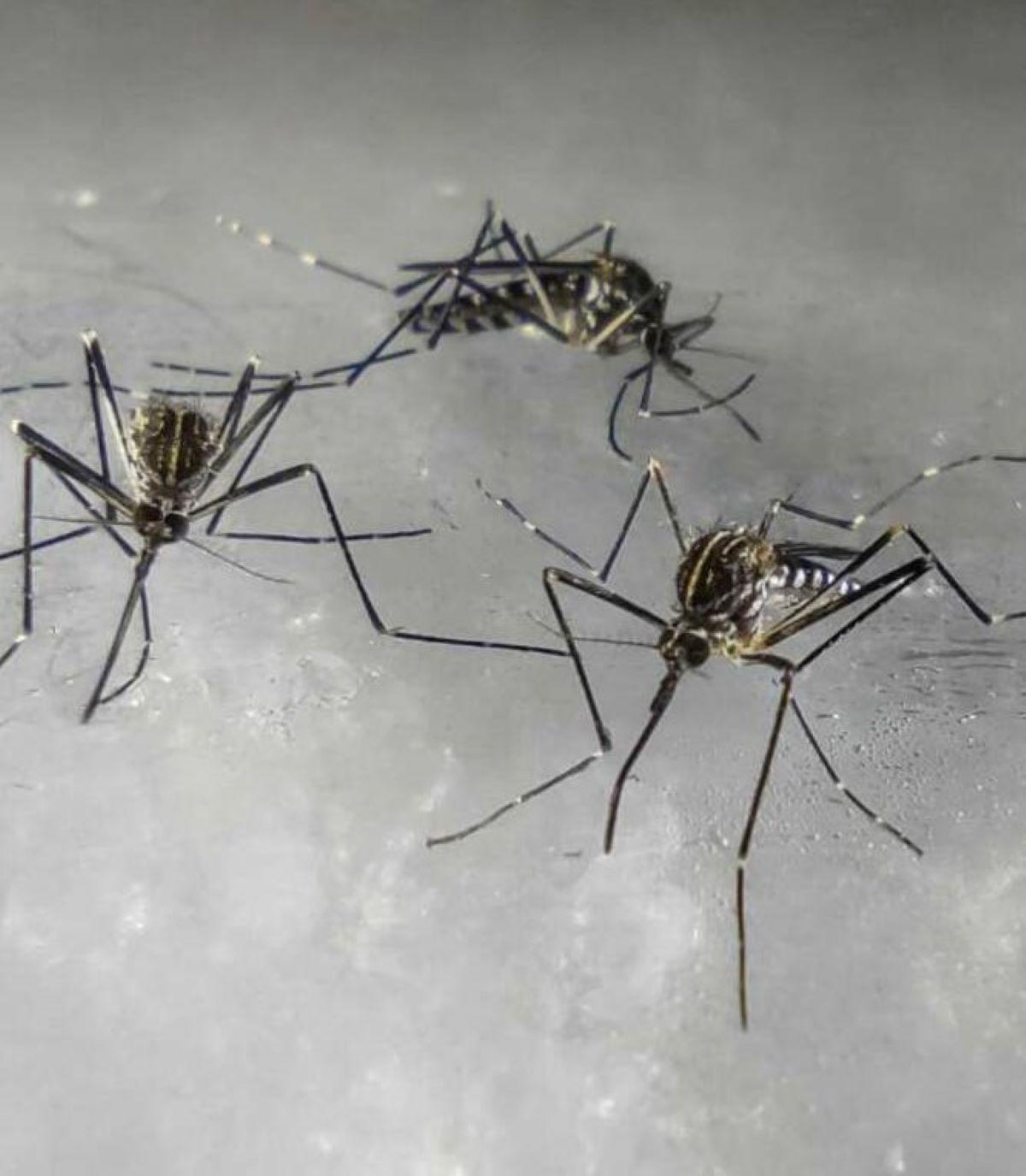 La zanzara coreana piomba in Italia: l'allarme degli esperti